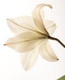 Lírio branco Fotos de Stock