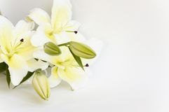 Lírio branco Fotografia de Stock Royalty Free