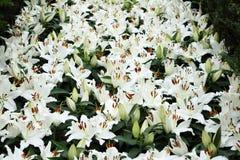 Lírio branco 2 Foto de Stock Royalty Free
