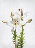 Lírio branco da aguarela Fotografia de Stock Royalty Free