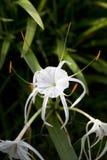 Lírio branco da aranha Imagens de Stock Royalty Free