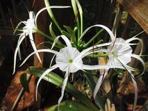 Lírio branco da aranha Fotografia de Stock Royalty Free