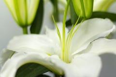 Lírio branco de florescência Fotografia de Stock