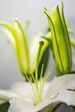 Lírio branco de florescência Imagem de Stock Royalty Free