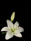 Lírio branco em um fundo preto Fotografia de Stock Royalty Free