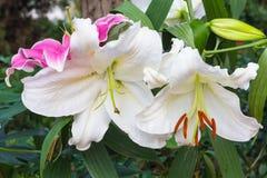 Lírio branco no jardim e no tom coloridos Imagens de Stock