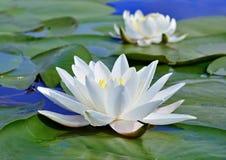 Lírio branco no lago Fotografia de Stock