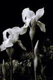 Lírio branco no monochrome Foto de Stock Royalty Free