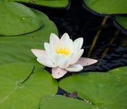 Lírio branco que flutua em uma água azul Fotografia de Stock