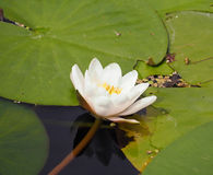 Lírio branco que flutua em uma água azul Imagens de Stock Royalty Free