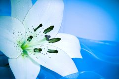 Lírio branco romântico Imagem de Stock Royalty Free