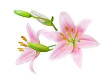 Lírio cor-de-rosa Fotos de Stock Royalty Free