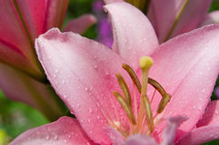 Lírio cor-de-rosa Fotos de Stock
