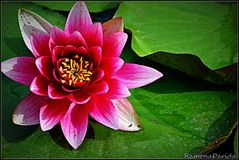 Lírio cor-de-rosa Imagem de Stock