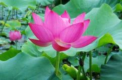 Lírio cor-de-rosa Imagens de Stock Royalty Free