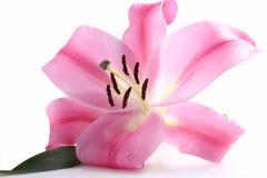 Lírio cor-de-rosa Imagem de Stock Royalty Free