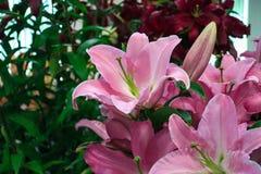 Lírio cor-de-rosa bonito Fotografia de Stock Royalty Free