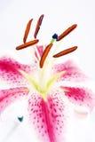 Lírio cor-de-rosa bonito em um fundo branco Fotografia de Stock Royalty Free