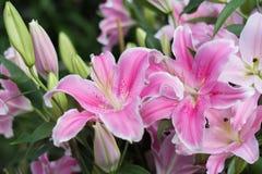 Lírio cor-de-rosa bonito no natural Fotografia de Stock Royalty Free