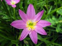 Lírio cor-de-rosa da chuva Fotografia de Stock