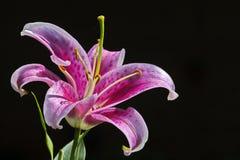 Lírio cor-de-rosa do sonhador Fotos de Stock