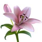 Lírio cor-de-rosa em um fundo branco Imagens de Stock