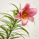 Lírio cor-de-rosa em um fundo claro fotos de stock royalty free