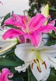Lírio cor-de-rosa no jardim e no tom coloridos Fotos de Stock