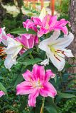 Lírio cor-de-rosa no jardim e no tom coloridos Foto de Stock