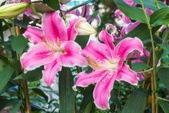 Lírio cor-de-rosa no jardim e no tom coloridos Fotografia de Stock Royalty Free
