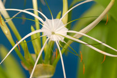 Lírio da aranha Fotos de Stock