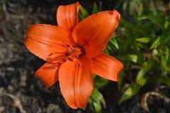 Lírio da flor Imagens de Stock Royalty Free
