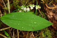 Lírio da flor do vale nas gotas da água dobradas à terra Imagem de Stock Royalty Free