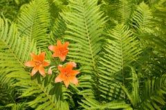 Lírio da laranja selvagem entre ferns. Fotos de Stock Royalty Free