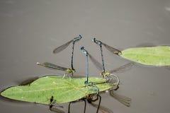 Lírio das folhas das libélulas do corte Imagem de Stock Royalty Free