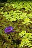Lírio de água Foto de Stock Royalty Free
