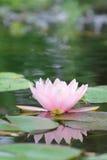 Lírio de água Imagem de Stock