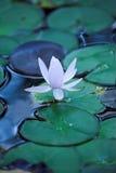 Lírio de água Imagens de Stock Royalty Free