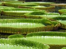 Lírio de água Fotografia de Stock Royalty Free