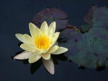 Lírio de água amarela Imagens de Stock Royalty Free