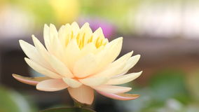 Lírio de água amarela cor-de-rosa, florescência da flor de lótus, video estoque