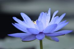 Lírio de água azul Imagens de Stock Royalty Free