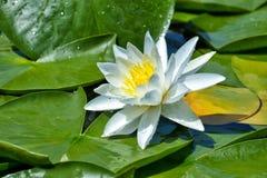 Lírio de água bonito no lago Imagens de Stock