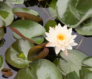 Lírio de água branca Fotografia de Stock Royalty Free