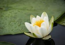 Lírio de água branca Foto de Stock Royalty Free