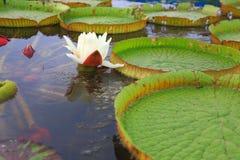 Lírio de água branca Foto de Stock