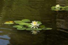 Lírio de água branca Fotos de Stock Royalty Free