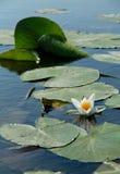 Lírio de água branca de florescência no lago Fotografia de Stock Royalty Free