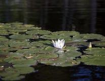 Lírio de água branca e almofadas de lírio no rio Fotos de Stock Royalty Free