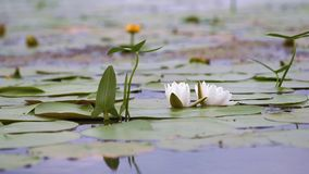 Lírio de água branca em uma lagoa Nymphaea alba Lírio de água branca bonito e climas tropicais Fundo do lírio de água filme